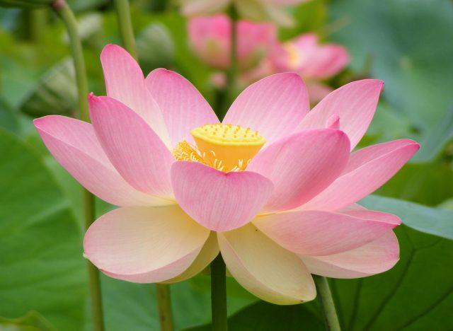 pink-lotus-flower-wallpaper[1]